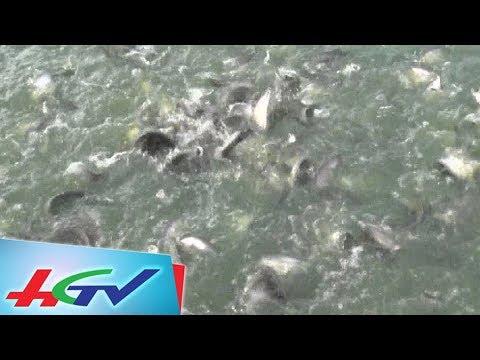 Đặc sản cá thát lát Hậu Giang giá cao ngất ngưỡng| BẢN TIN KINH TẾ NÔNG NGHIỆP - 23/9/2018