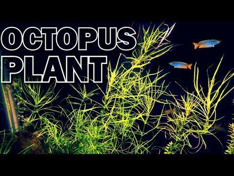 Pogostemon Stellatus Octopus Aquarium Plant