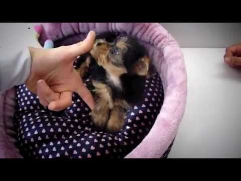 Yorkie Puppies – Puppies For Sale – Teacup Puppies 2016 WE SHIP