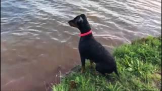 Deutscher Pinscher Lara lernt schwimmen