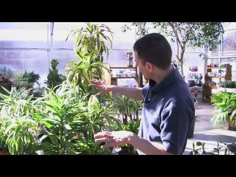 Caring for Dracaena Plants