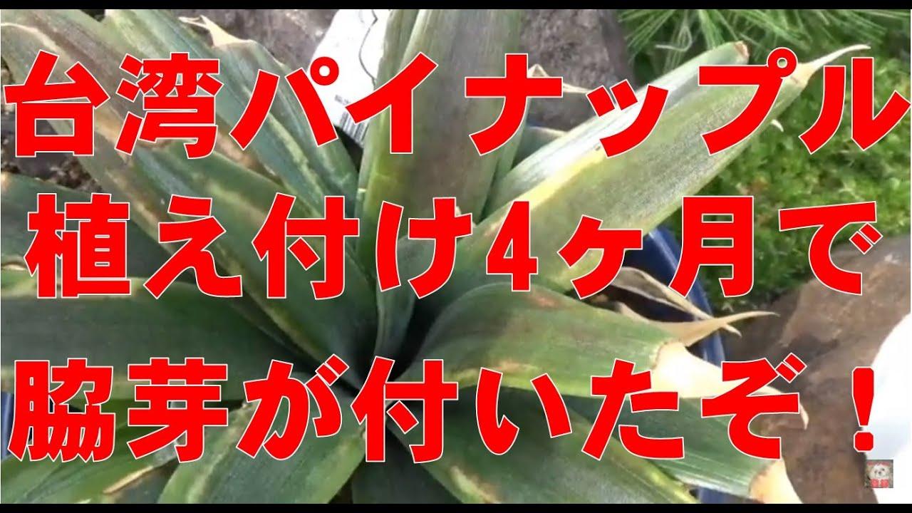 2021年台湾パイナップル成長記録  台湾パイナップルに4ヶ月で脇芽が付いた