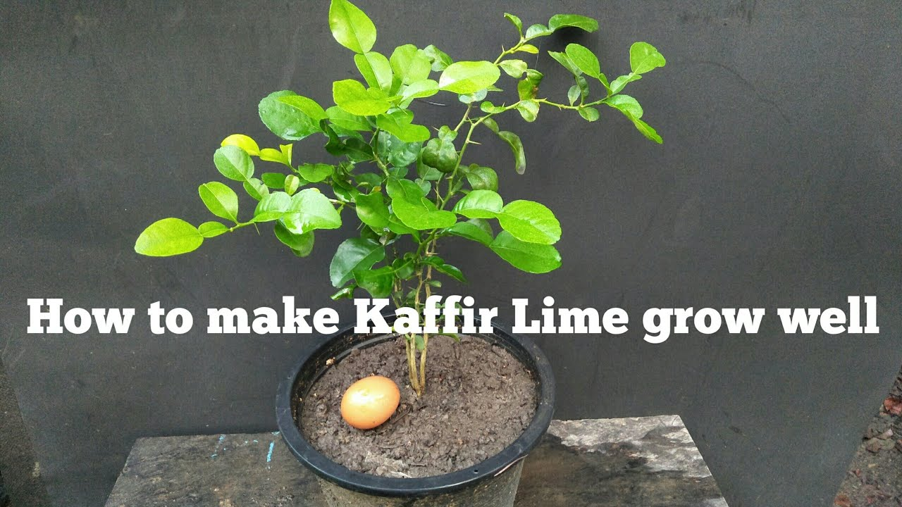 How to make Kaffir Lime grow well - my agriculture