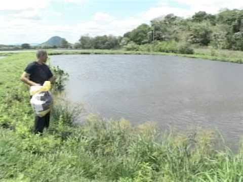Cr a intensiva de tilapias en cuba doovi for Criar tilapias en estanques
