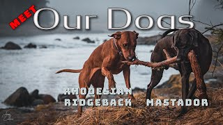 Hiking with a Mastador and Rhodesian Ridgeback  in Alaska ...Meet Finn & Rüna