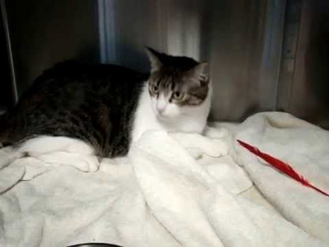 ADOPT Madison: shy, pretty girl cat