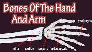Bones Of The Hand - Bones Of The Arm - Bones Of The Wrist - Carpal Bones - Radius And Ulna Bones