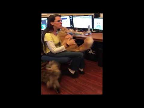 Maine Coon crying, Bently wanting to be held by mom, cat meowing to get attention