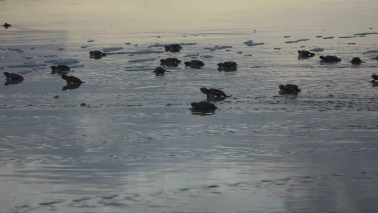 Loggerhead Turtle Hatchlings In Daytona Beach