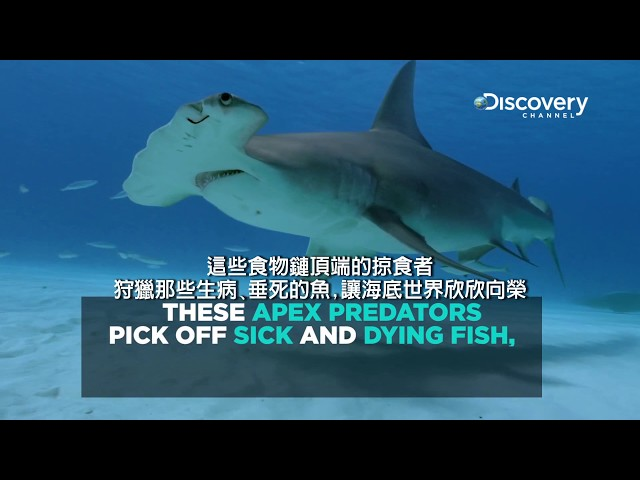 Discovery與鯊魚共榮 --《鯊魚週2017》7月24日 ~ 7月30日,每晚8點首播。