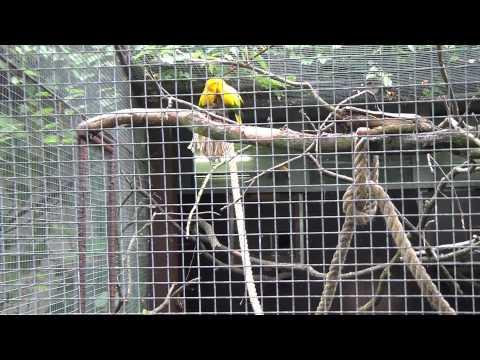 Aratinga žlutý (guarouba guarouba)