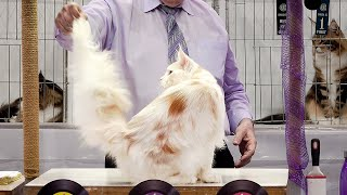 CFA International Show 2019  Longhair Adult Class Judging  Maine Coons