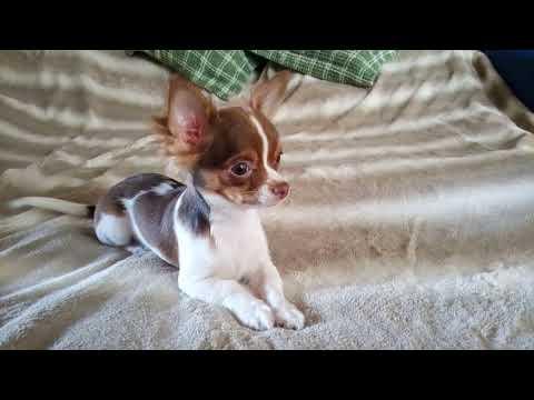 Купить щенка чихуахуа в Москве недорого 89055466692
