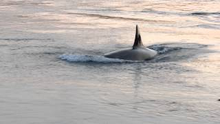 whales in active pass 7:40 pm aug 24 2014 1 of 2 videos