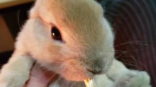 토끼 키우기/동물농장/미니렉스/아기토끼/아빠무릎에서 먹…