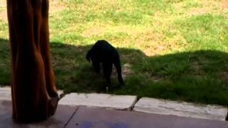 Black Lab - Cally's Play Time At Puppy Training Class