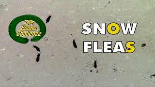 Winter Bug Mystery - Snow Fleas - Springtails in action