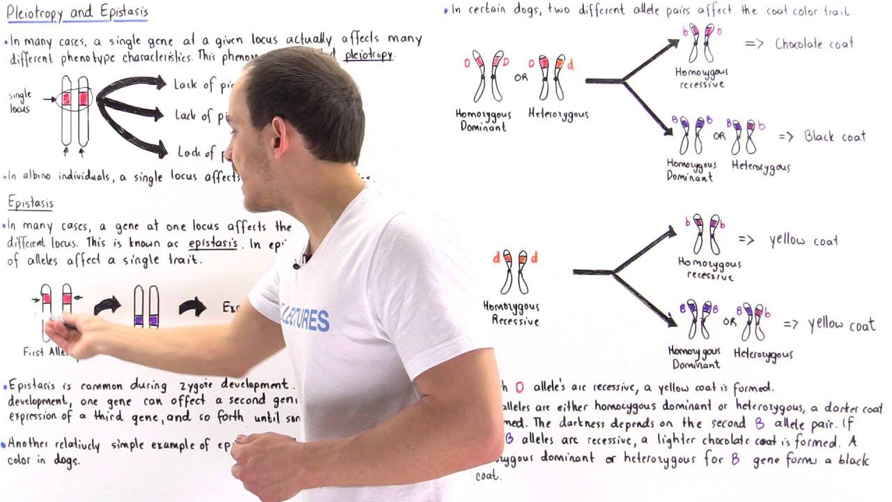 Pleiotropy And Epistasis Youtube