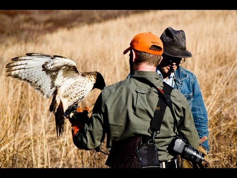 Rabbit Hawking: Falconry with Bill Davis
