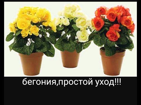БЕГОНИЯ, уход, выращивание,размножение и меры борьбы с вредителями :)