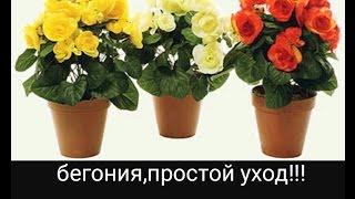 видео Цветы бегония уход