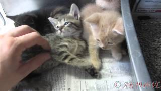 Meowing Cats