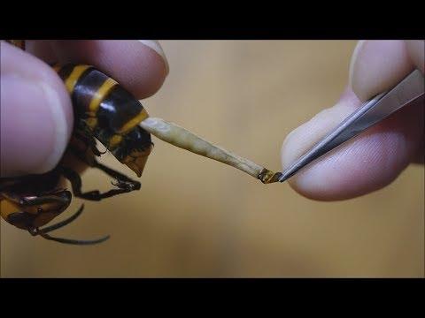 寄生ウジ虫をスズメバチの腹から引きずり出す!!Pull out parasites from Hornet. →スズメバチネジレバネXenos moutoni ←Copy and search