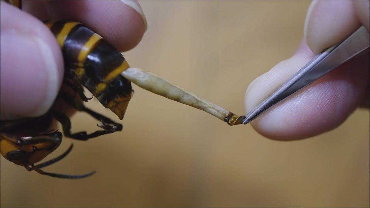 寄生ウジ虫をスズメバチの腹から引きずり出す!!