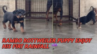 Rambo Rottweiler puppy enjoy the first Rain of his life with my mother and his father or grandfather