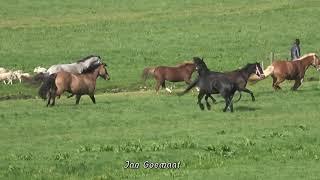 Dansende paarden in SANTPOORT (zuid)