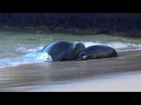 Hawaiian seal with baby 1