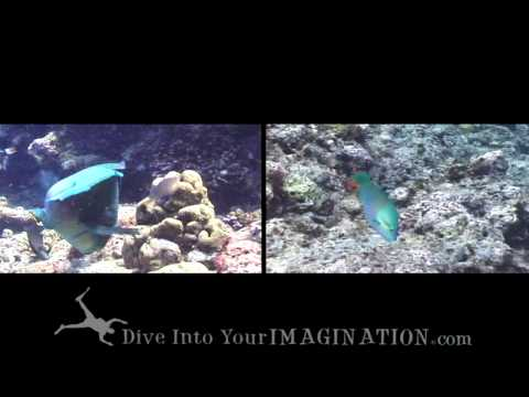 Parrotfish - Where Does Sand Come From? - Ocean Animals - Creature Feature