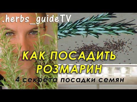 Как посадить розмарин