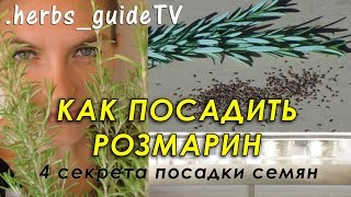 Как посадить розмарин из семян. 4 секрета успешного прорастания