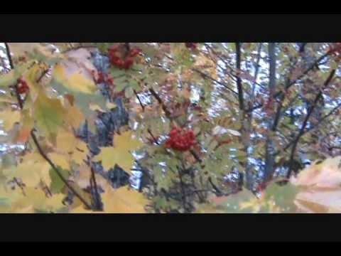Mountain Ash, Food and Medicinal Uses