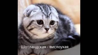топ 10 пород самых красивых кошек в мире