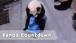 【panda countdown】panda treepoor fu laibaby pandas roar ipanda
