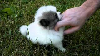Cuteness Overload Featuring Our Teeny Tiny Pomeranian Puppy Mickey.
