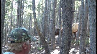 Colorado Archery Elk! Woah 5 yards! Short Video!