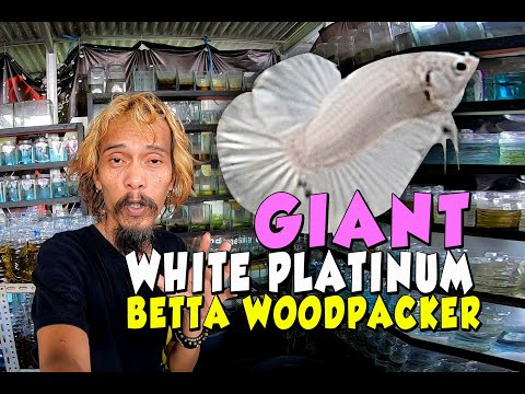 Ikan Cupang Giant White Platinum Youtube