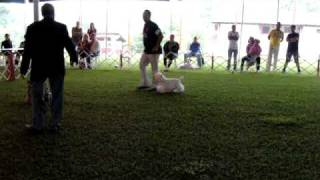 Exposição Kennel Club Confins/mg - Westie Cachorrinho Do Ig