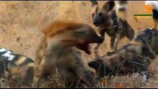 Wild Fauna / Собачья жизнь / Гиеновидная собака