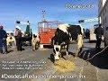 Bloquean la Aldama con caballos, vacas y autos; piden alza a la leche