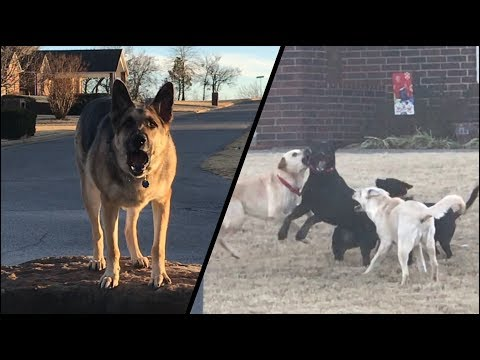Lab Pack Runs Wild: German Shepherd Watches