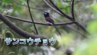 恥ずかしがり屋のサンコウチョウ 愛媛県大洲市冨士山