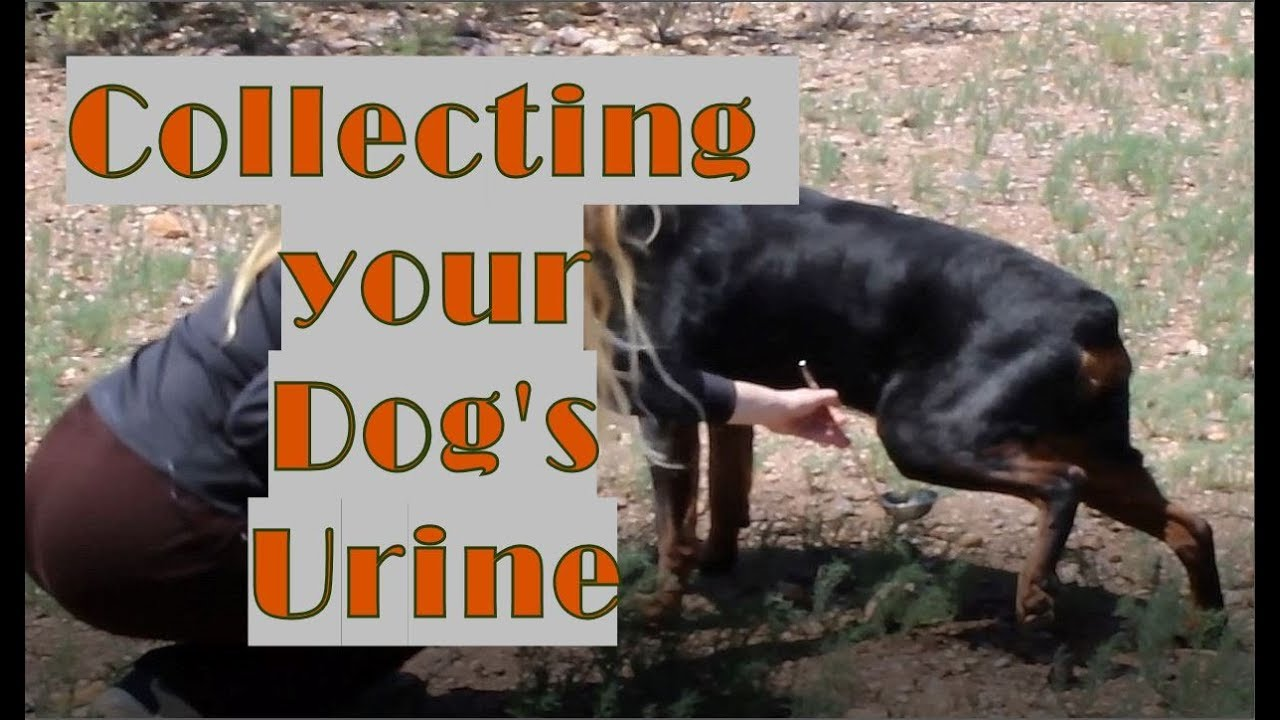 How to Collect a Urine Sample From a Dog | PetHelpful