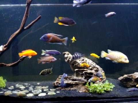 African Cichlid Monster Fish Tank YouTube