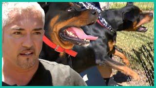 Cesar Millan Takes on a Vicious Rottweiler | Cesar 911