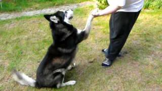 Mischa The Malamute: How To Train Your Trainer
