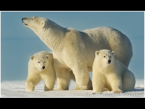 Alaska Polar Bear Viewing and Photo Tours with Wild Alaska Travel from YouTube · Duration:  4 minutes 8 seconds